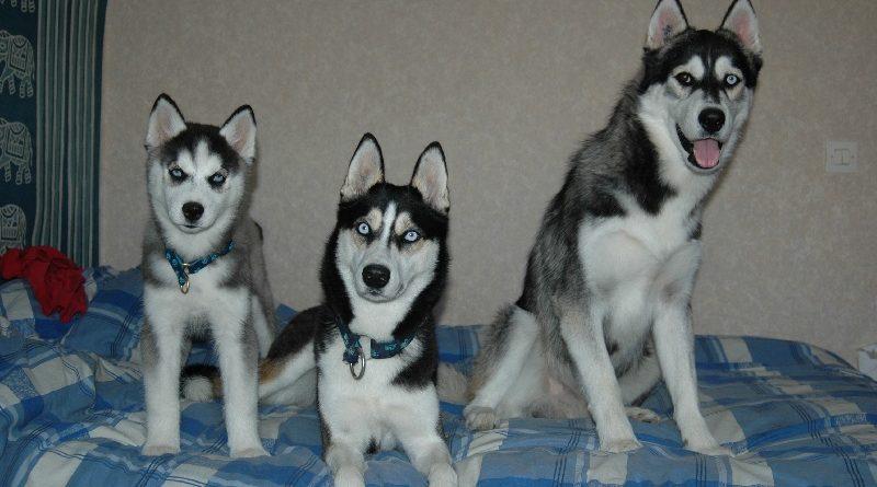 Quand un chien atteint sa taille adulte ?